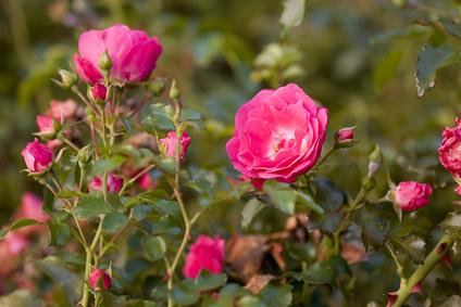 Rosen Tal Bulgarien - ölhaltige Damaszener Rose