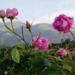 Bulgarian_Rose
